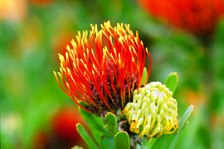 South Africa's unique Proteas & other floral wonders at Kirstenbosch National Botanic Gardens