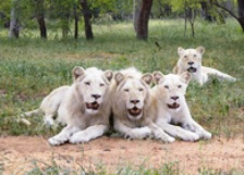 Visit the famous White Lions of Timbavatie (Limpopo Province)